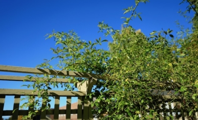 green hedge against blue sky