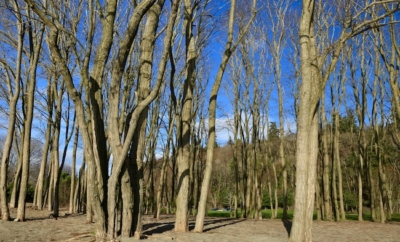 leafless trees in Golden Gardens